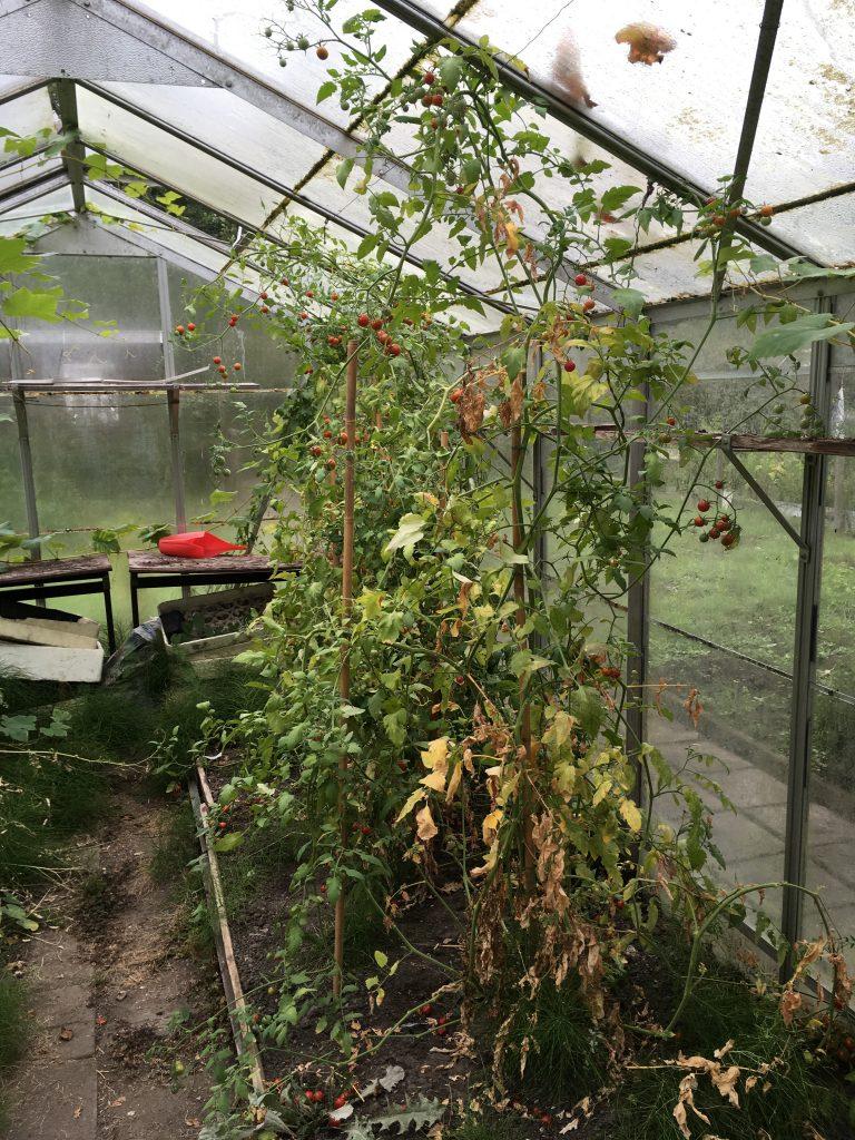 Tomatenplanten in de kas.