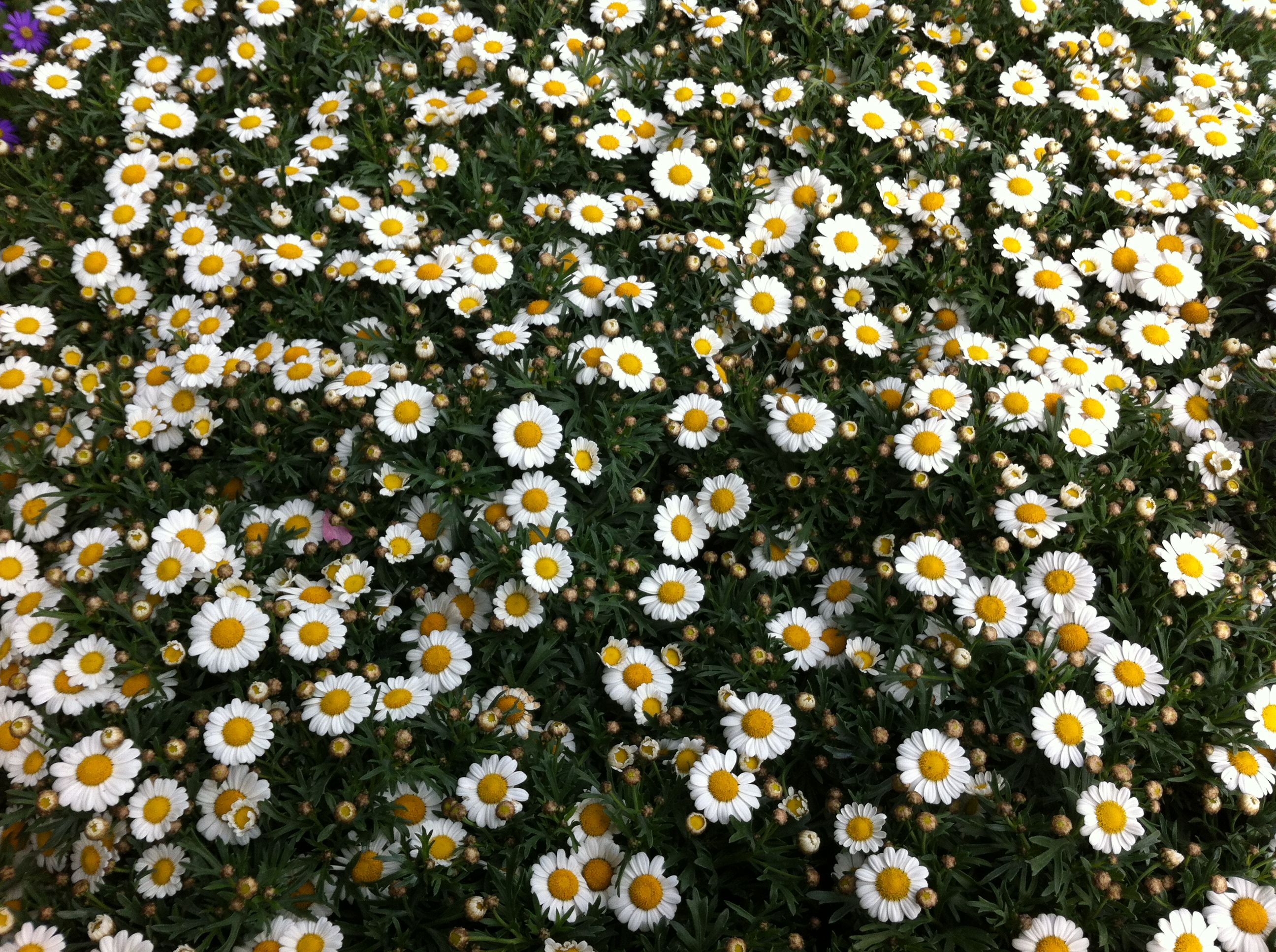 Margrieten everywhere!