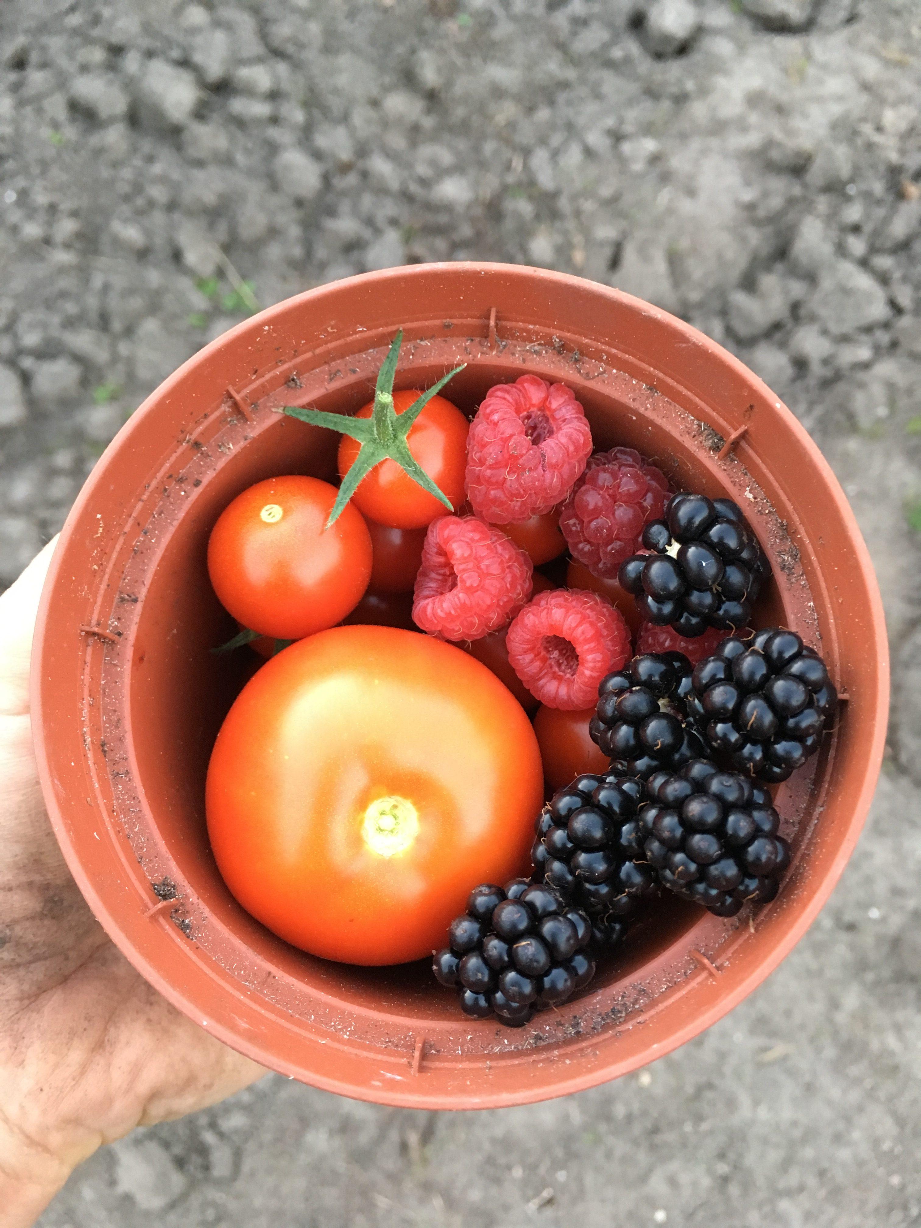 Tomaten, frambozen en bramen uit eigen moestuin.